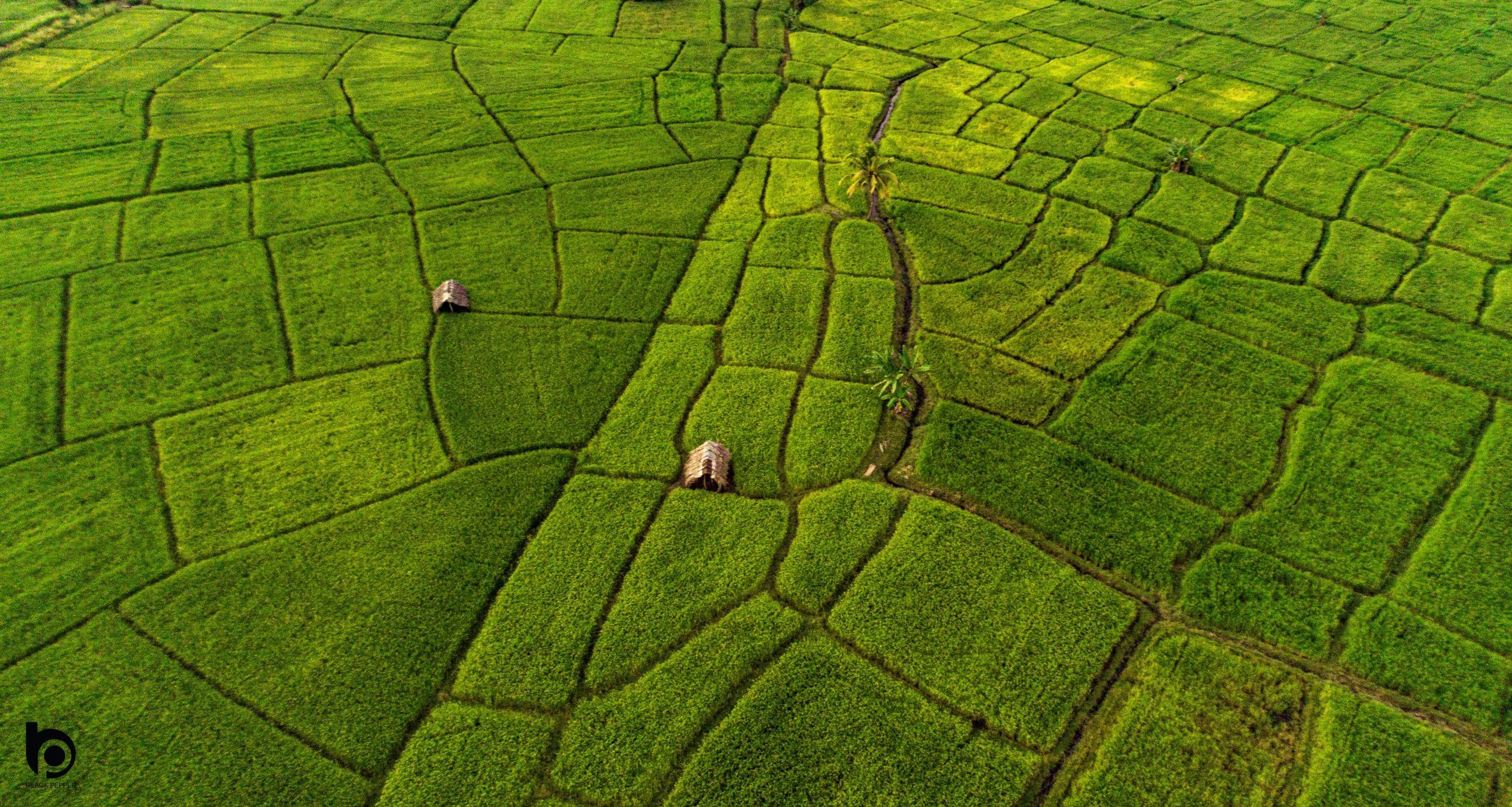 Paddy Field - Sri lanka